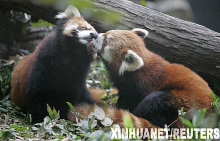 """日本动物园内两只小熊猫""""相濡以沫"""""""